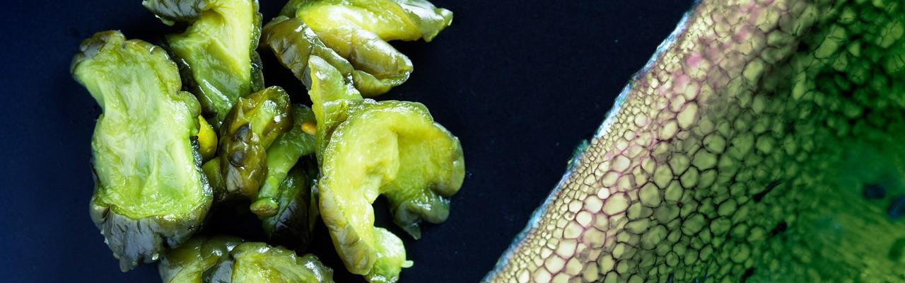 Inner secrets of a crunchy cucumber. Foto: Mathias P. Clausen og Jonas Drotner Mouritsen.