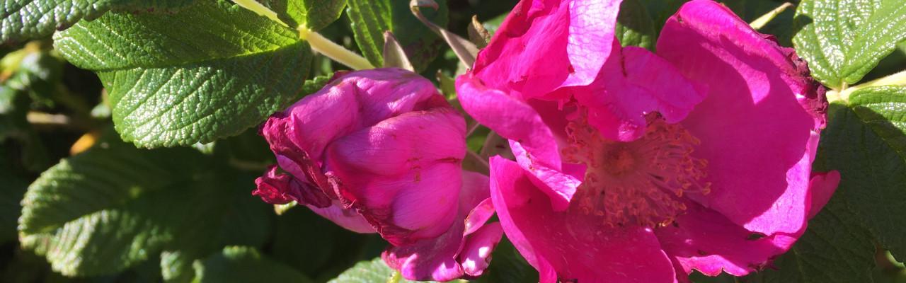 Hybenrose i blomst. Foto: Mikael Schneider