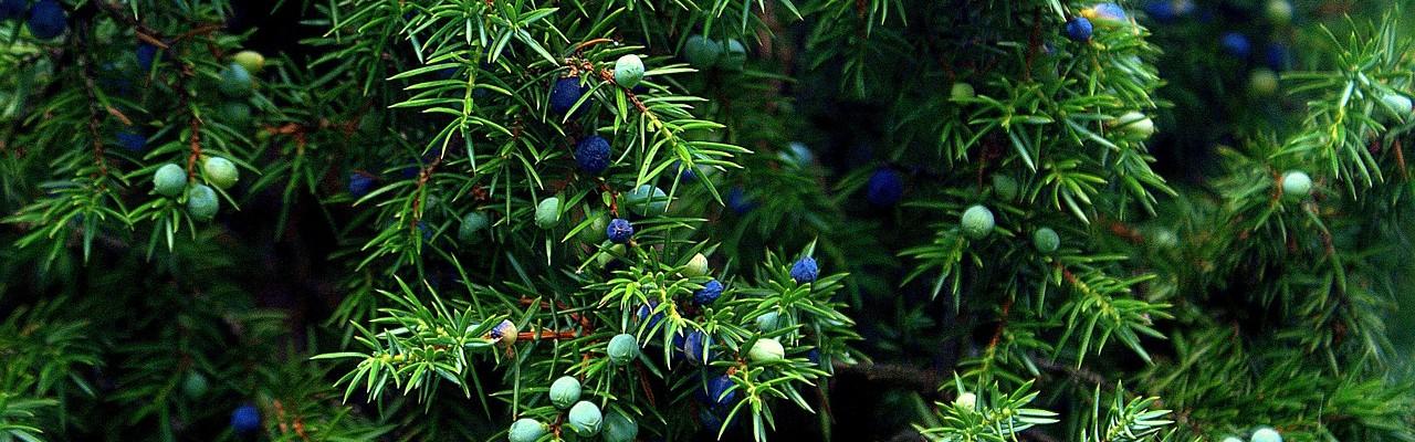 En farmaceut skulle førhen kende smagen og lugten af varerne på apoteket - lige fra enebær til stryknin. Foto: Pixabay