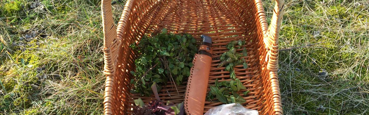 Høst vilde urter fulde af smag på en sanketur. Foto: Mikael Schneider.
